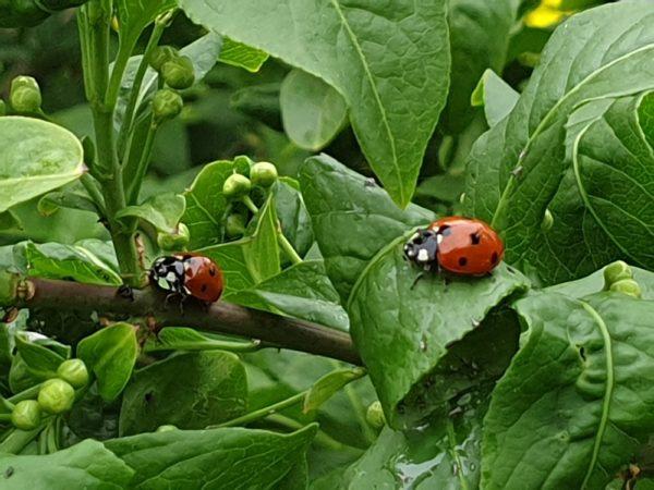 Zwei Marienkäfer auf grünen Blättern